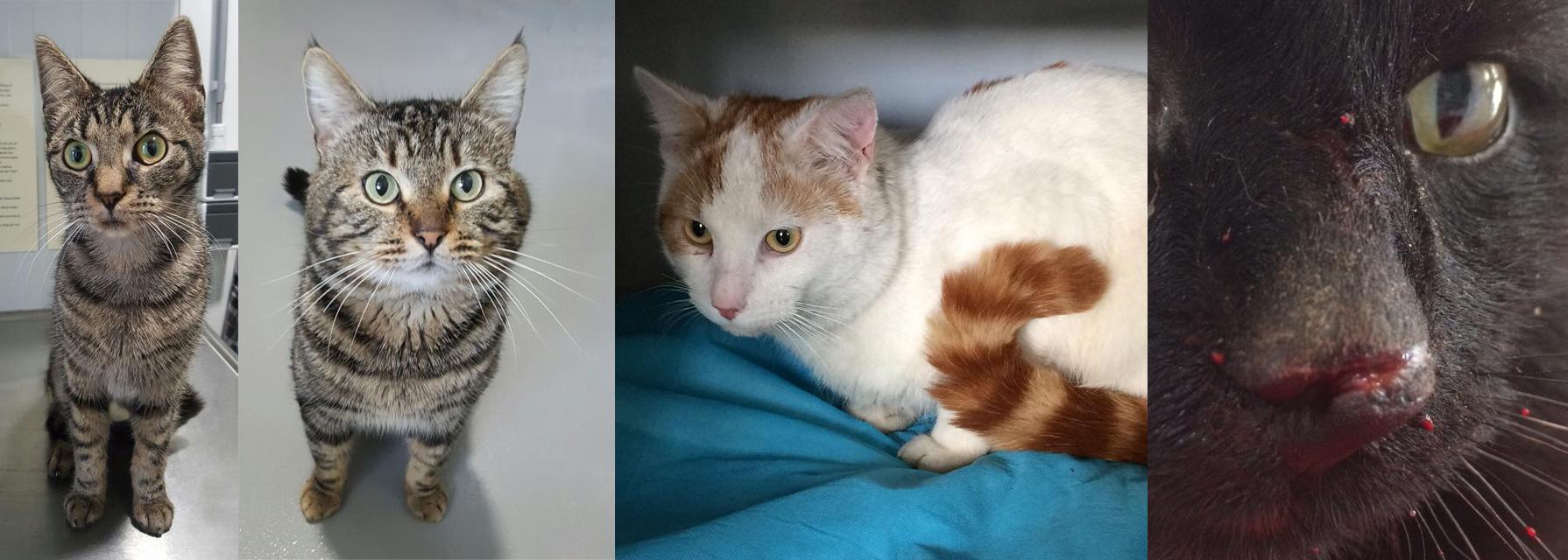 Katten Krijna, Toshiro, Baelfire en Nosey worden in 'voorjaarstoestand' binnengebracht bij Dierentehuis Stevenshage.