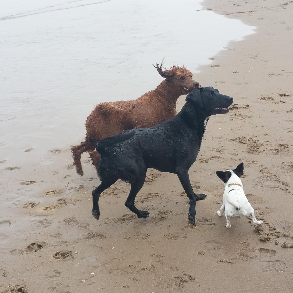 Skye mag met grote honden Trip en Kiki mee naar het strand