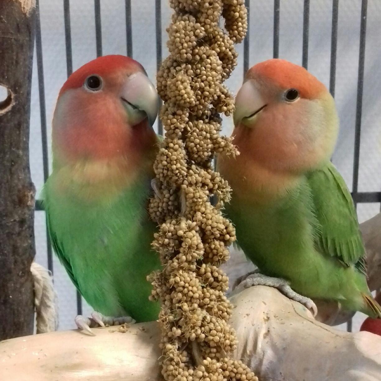 Agapornissen heten in het Engels 'lovebirds'.
