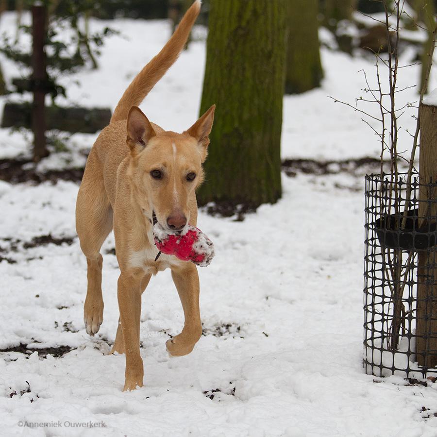 Asielhond Duma in de sneeuw in het hondenbos van Dierentehuis Stevenshage.