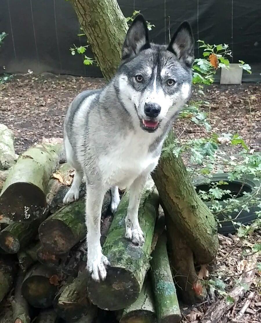 Husky Jessie houdt als Senior Health Manager de honden van Dierentehuis Stevenshage in topconditie