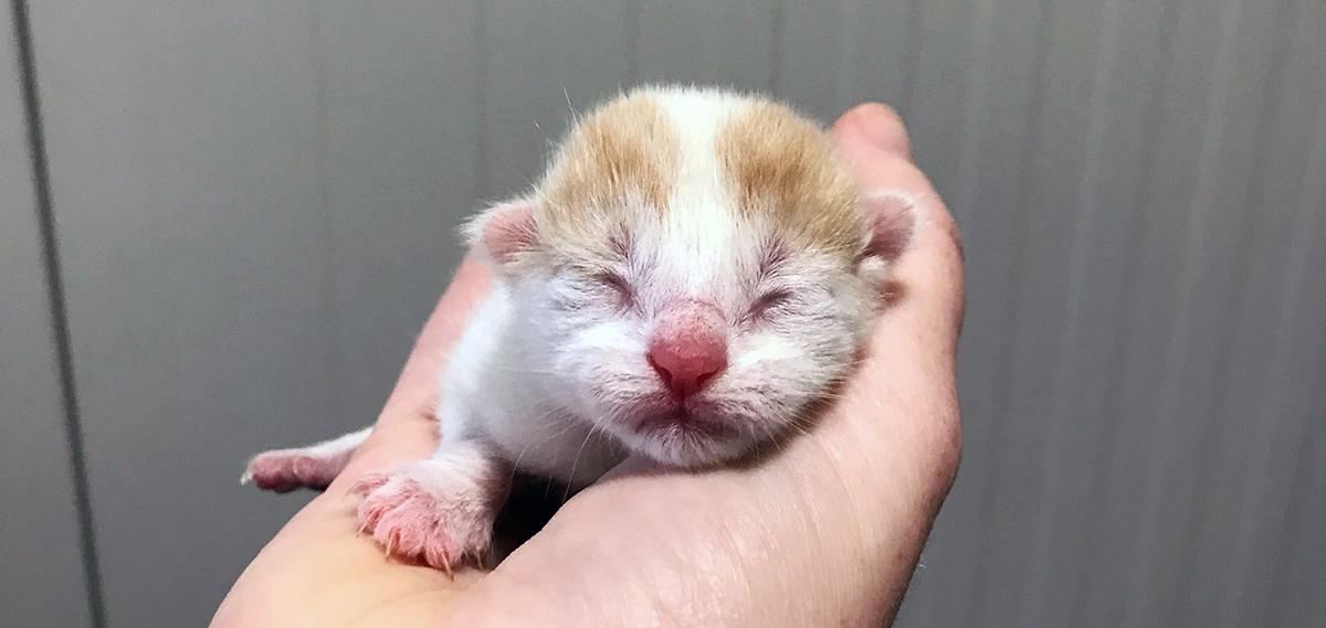 Kitten Mikki wordt geadopteerd uit Dierentehuis Stevenshage.