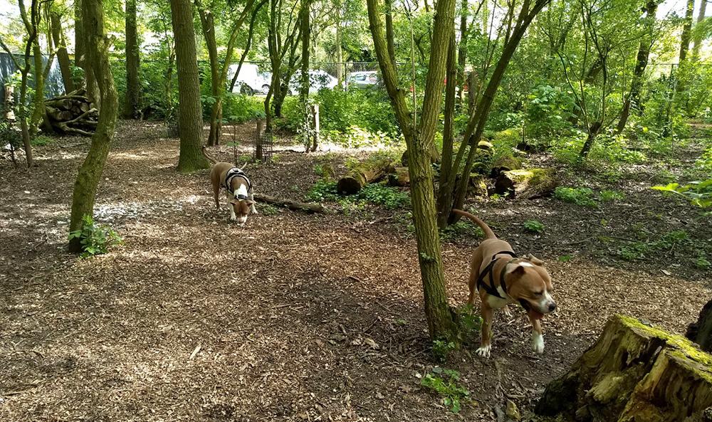 Asielhonden Beppie en Bink in het hondenbos van Dierentehuis Stevenshage.