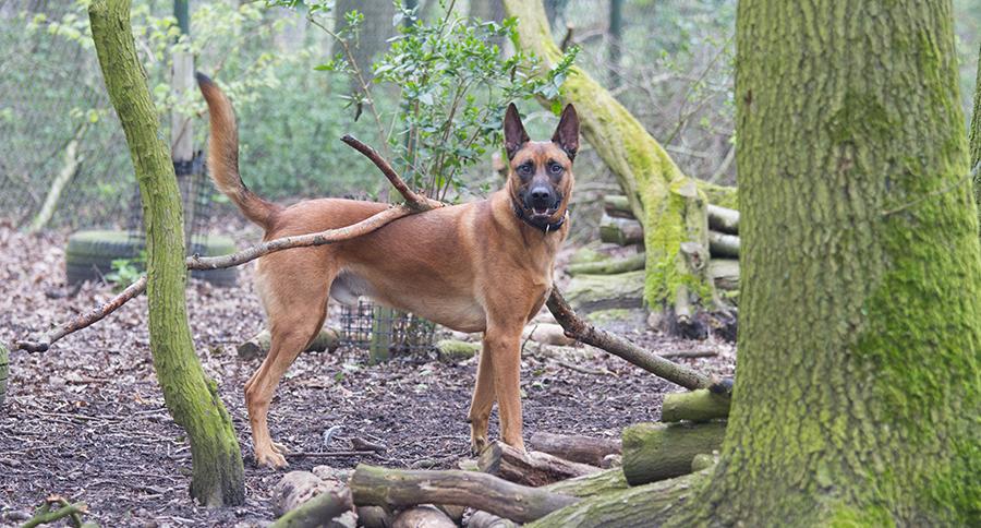 Mechelse herder Tygo in het hondenbos van Dierentehuis Stevenshage