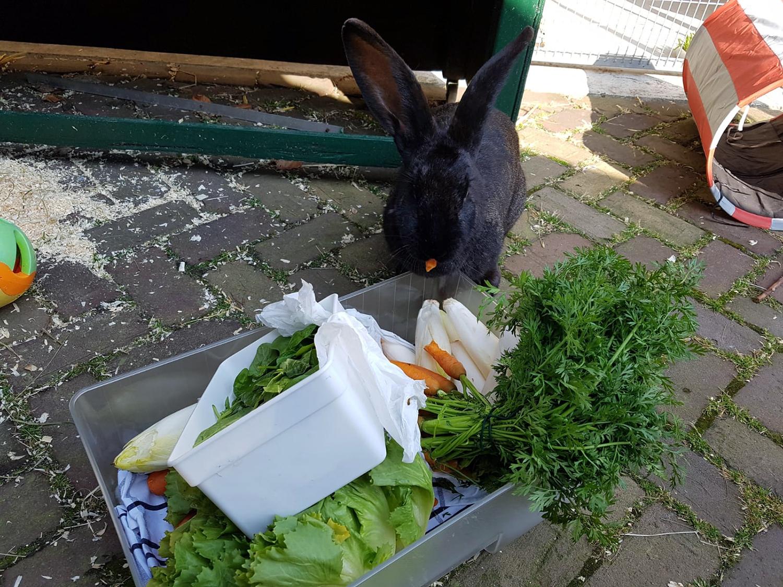 Vlaamse reus Sofina wordt dikke vrienden met de groentela in Dierentehuis Stevenshage.