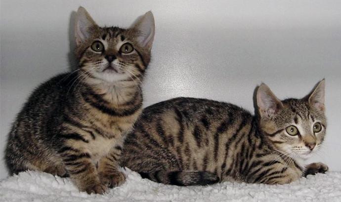 Cyperse kittens (archiefbeeld Dierentehuis Stevenshage)