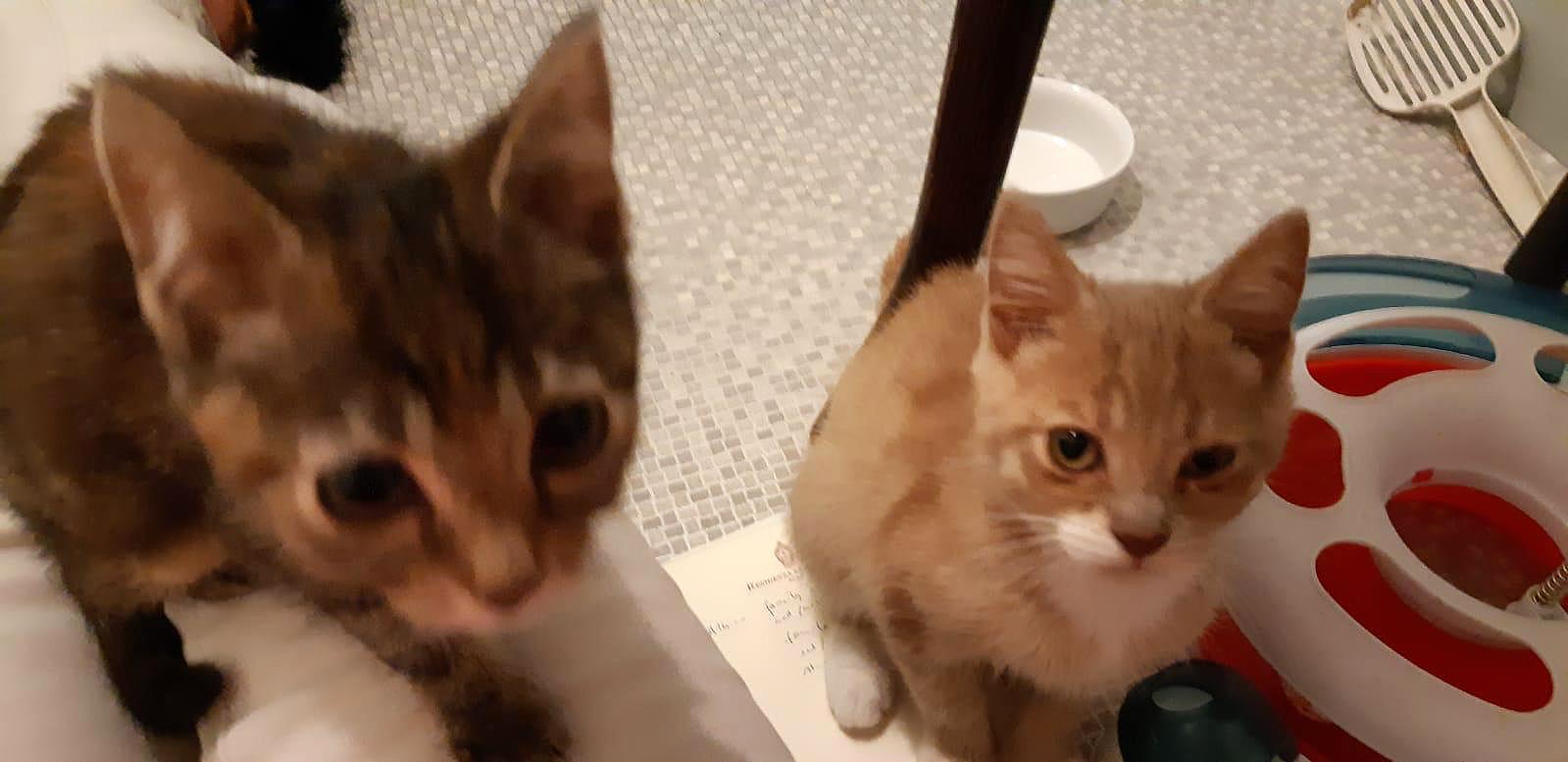 Kitten Thijs en Trix in een pleeggezin van Dierentehuis Stevenshage.