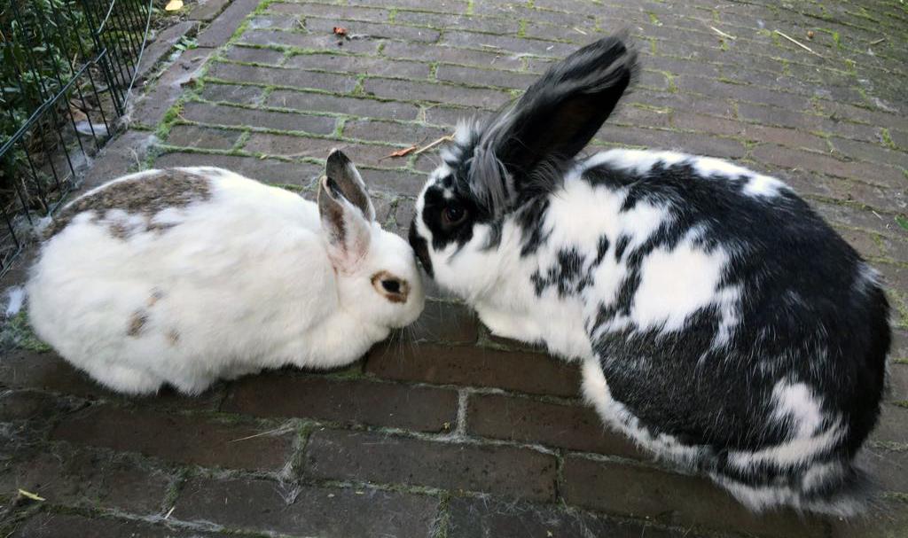 Wil je konijnen aanschaffen? Kies altijd voor twee konijnen uit een gespecialiseerde opvang.