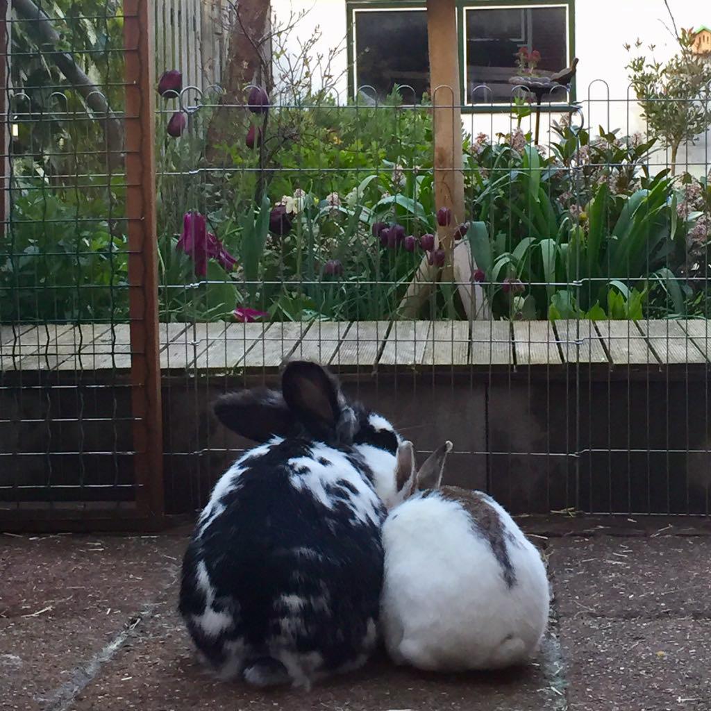 Een geslaagde koppeling leidt tot gelukkige konijnen, zoals hier bij Mike en Foxy.
