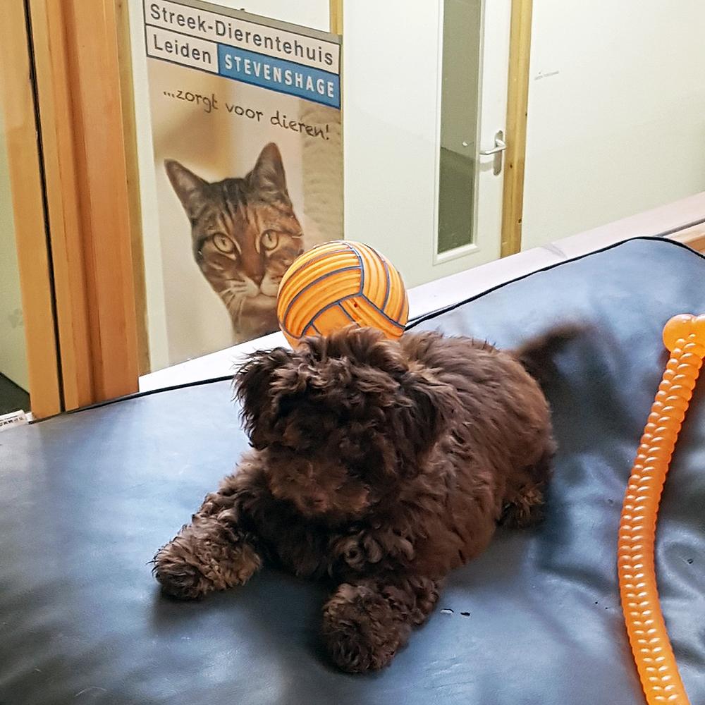 De Maltipoo pup krijgt door velen het label 'schattig' opgeplakt.