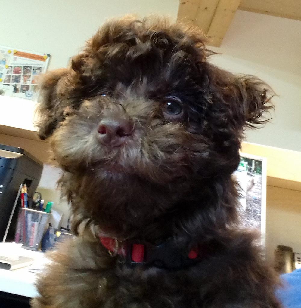 Pup Inu is een zogenaamde Maltipoo: een kruising tussen een Maltezer en een Poedel.