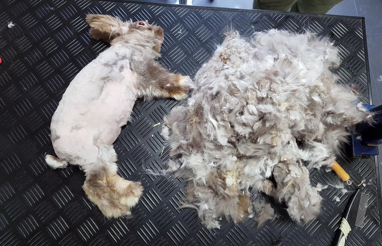 Voor het verwijderen van de ergste klitten en de enorme berg haar moet konijn Charlie onder narcose.