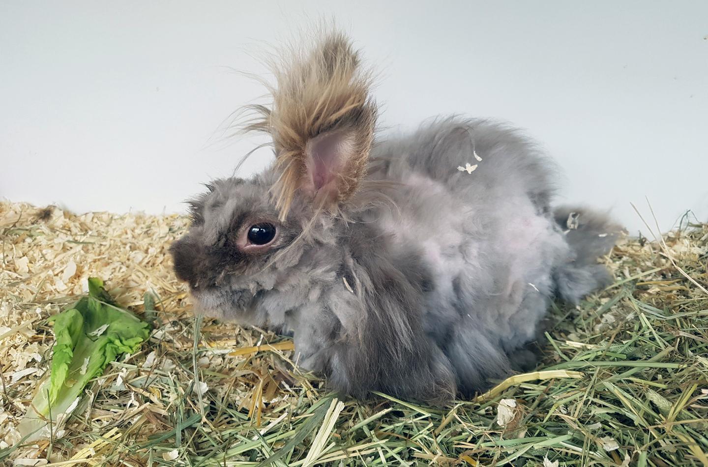 Na het scheren komt er onder de enorme berg klitten een klein konijnenwezentje tevoorschijn. Helaas overleeft Charlie het uiteindelijk niet.