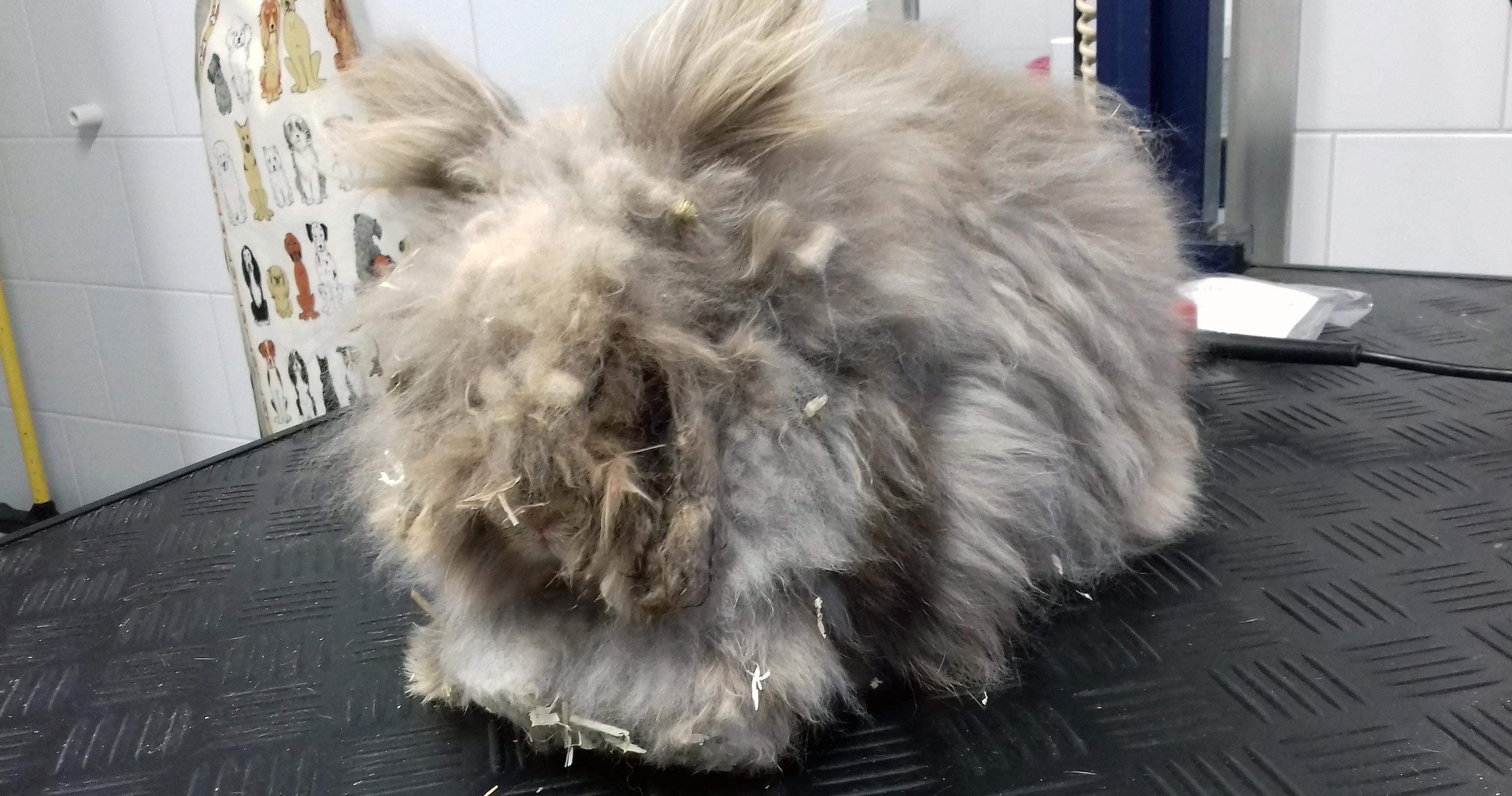 Als konijn Charlie bij Dierentehuis Stevenshage terechtkomt, is nauwelijks te zien wat de voor- en achterkant is.