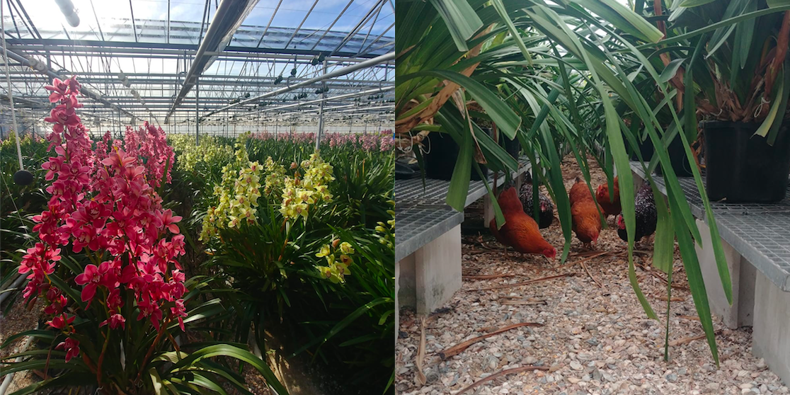 Vier schuwe asielkatten vonden een nieuw thuis bij een biologische orchideeënkwekerij, waar de kippen worden ingezet tegen onkruid.