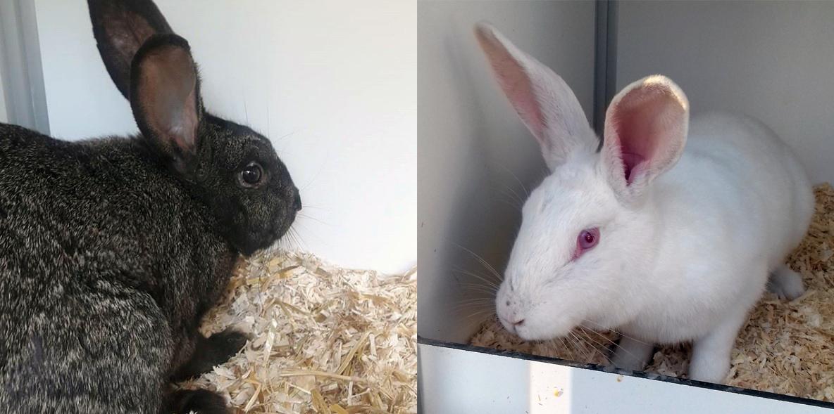 Konijnen Walhalla en Snövit zoeken een nieuw huis. Klik op de afbeelding voor een actueel overzicht van alle plaatsbare konijnen bij Dierentehuis Stevenshage in Leiden.
