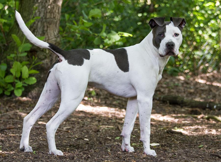 Asielhond Bowdy wordt getraind door Stichting Hond in Nood voor Dierentehuis Stevenshage. Foto: Annemiek Ouwerkerk