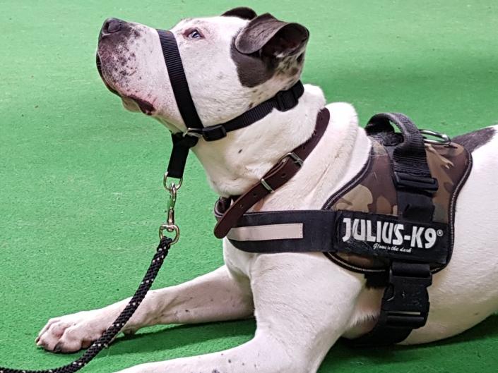 Asielhond Bowdy wordt getraind door Stichting Hond in Nood voor Dierentehuis Stevenshage. Foto: Stichting Hond in Nood