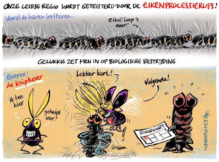 De knipkever lijkt de oplossing voor de eikenprocessierups! Cartoon van Leids cartoonist Maarten Wolterink.