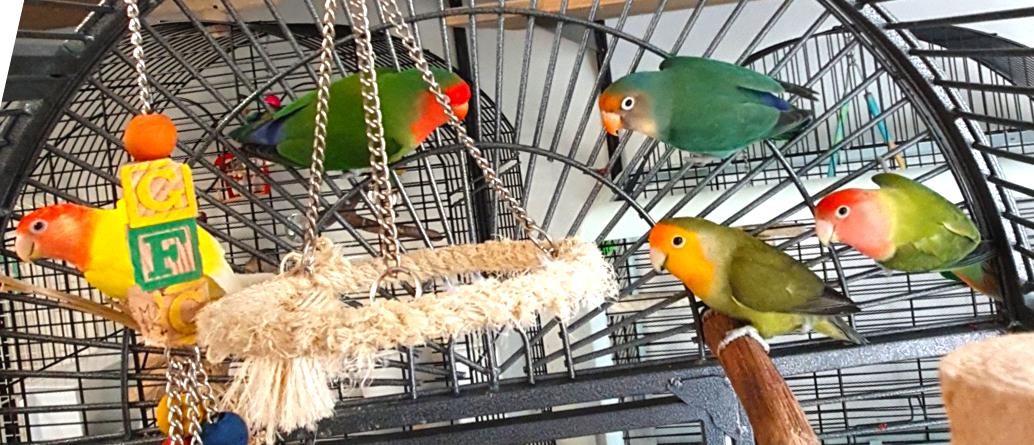 Bij Dierentehuis Stevenshage in Leiden vangen we ook tamme vogels op, waaronder vele agapornissen. Klik hier voor een overzicht van onze plaatsbare vogels.