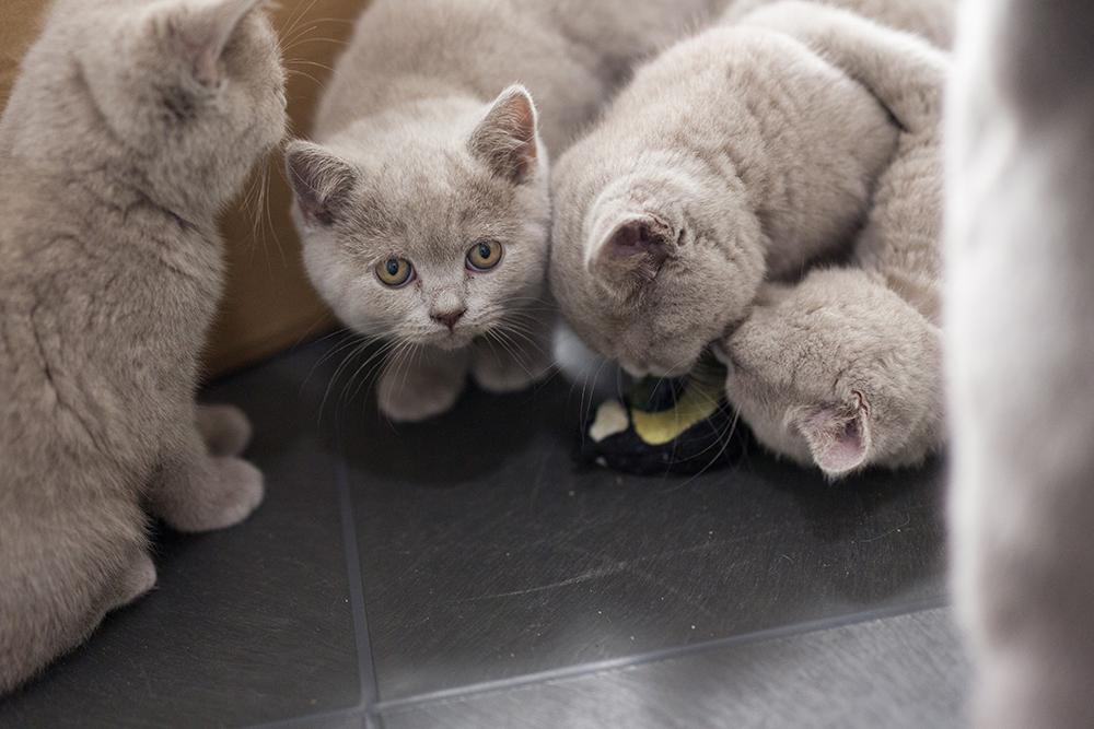 De Britse korthaar kittens van gevonden moederpoes Hamila bij Dierentehuis Stevenshage in Leiden. Foto's: Maud Velders