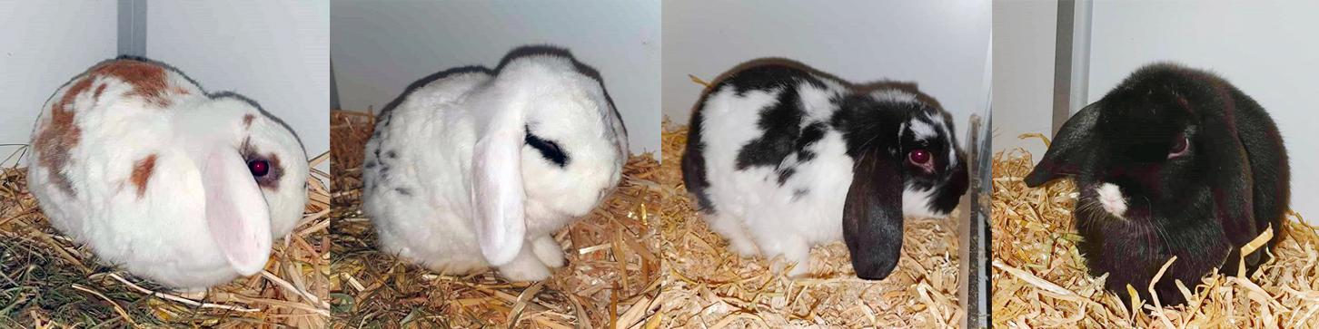 De dierenambulance brengt vier konijnen binnen bij Dierentehuis Stevenshage in Leiden.