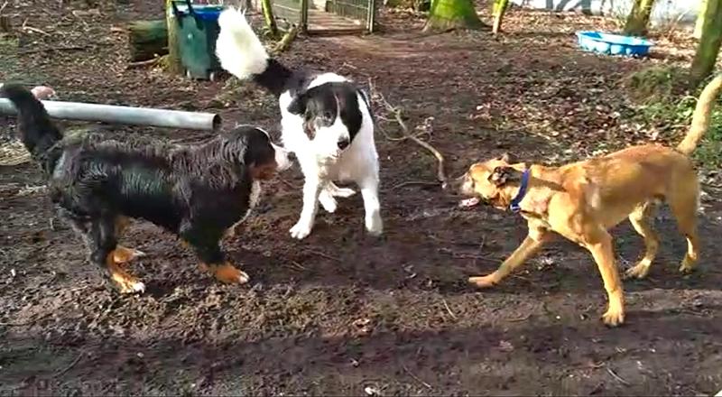 Een drietal asielhonden maakt luidruchtig kennis op het hondenbos van Dierentehuis Stevenshage in Leiden.