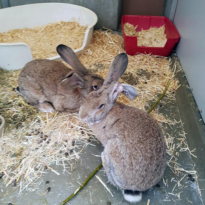Twee gevonden Vlaamse reuzen verblijven in de lege hondenkennels, die hen meer ruimte bieden dan de konijnenverblijven.