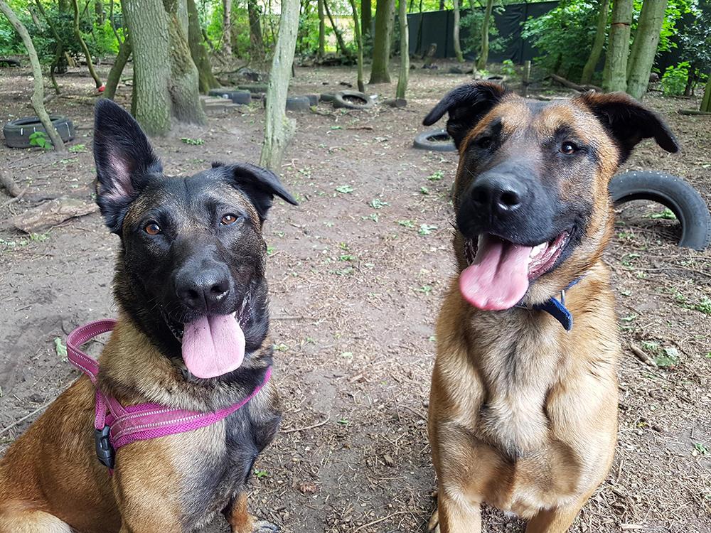 Herders Jaimy en Lucky in het hondenbos van Dierentehuis Stevenshage in Leiden.
