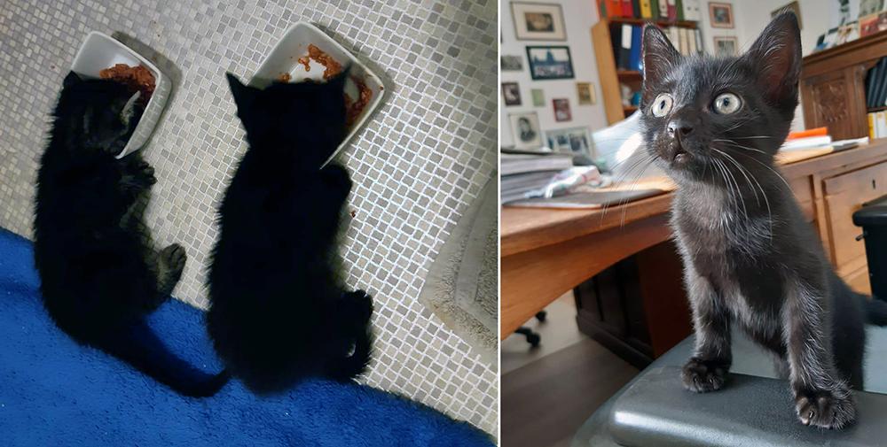 Moederloze kittens Wakiza en Wambli krijgen voor het eerst vast voedsel en groeien goed bij een pleeggezin van Dierentehuis Stevenshage.