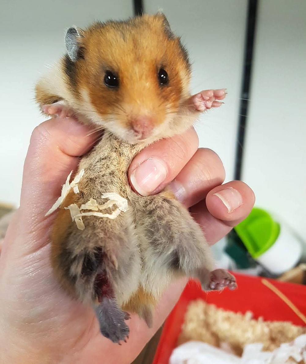 Het pootje van Syrische hamster Aidoni ziet er niet goed uit als ze binnenkomt bij Dierentehuis Stevenshage in Leiden.