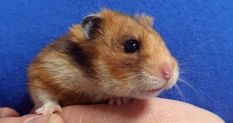 Intussen in het asiel: Een nieuw soort hamster