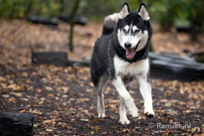 Siberische Husky Kay zoekt een baasje bij Dierentehuis Stevenshage, het asiel van Leiden en omstreken.