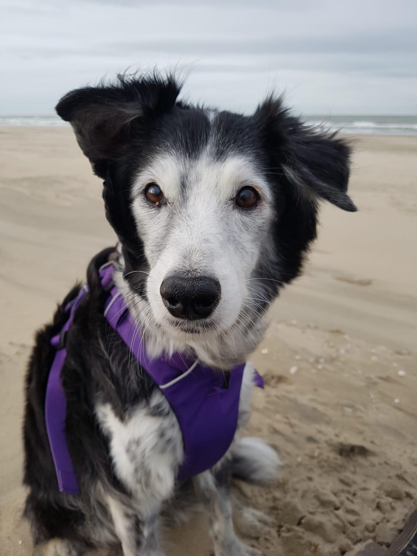 Aybo, de hond van Annika, tijdens zijn laatste strandwandeling