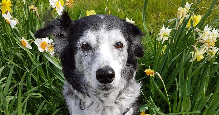 Hond Aybo tussen de narcissen op bijna 13-jarige leeftijd.