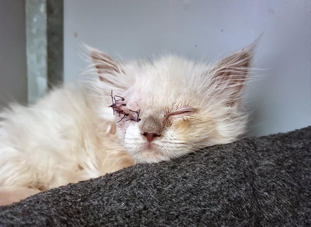 Het oogje van kitten Batava moest verwijderd worden nadat ze binnenkwam bij Dierentehuis Stevenshage.