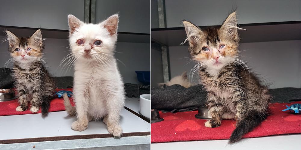 Kittens Academia en Lugduno komen met ontstoken ogen terecht bij Dierentehuis Stevenshage in Leiden.