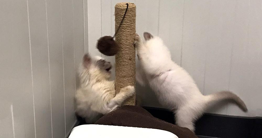Kittens Batava en Lugduno spelen met elkaar bij Dierentehuis Stevenshage in Leiden.