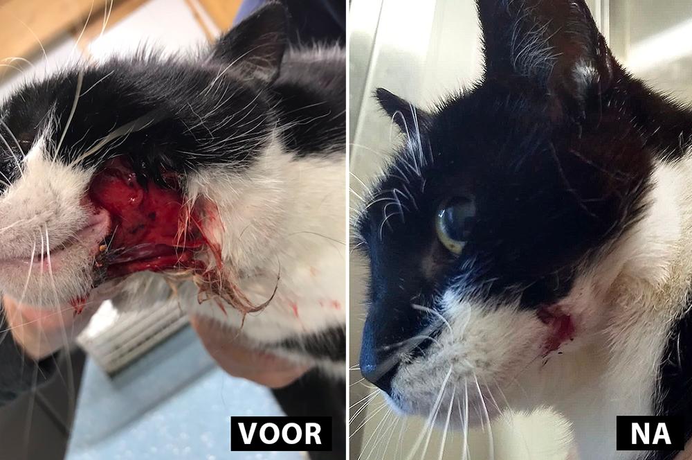 De wond van kat Aagje geneest voorspoedig bij Dierentehuis Stevenshage in Leiden.