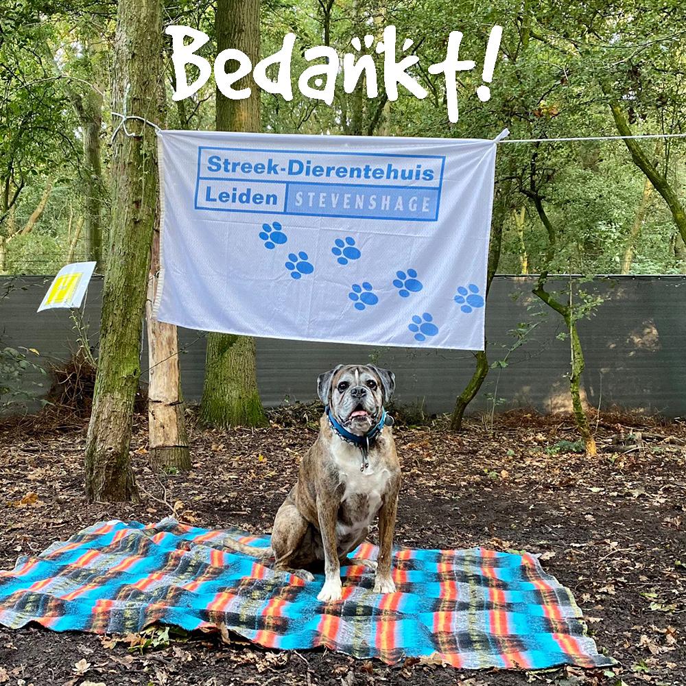Boxer Noa had een half uur lang het hondenbos van Dierentehuis Stevenshage voor zichzelf!